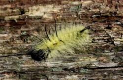 Small Of American Dagger Moth