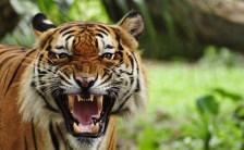 久慈悟子が教えるアニマルエッセンスPart.21<br>〜豪傑の象徴「タイガー(虎)」のエッセンス〜