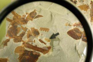 Fósil de una araña expuesto en la sede de la Asociación Mineralógica Aragonito Azul, en la Casa de las Gentes de Bembibre (León), y que es la imagen de un sello con motivo del X aniversario de la asociación (Foto de César Sánchez)