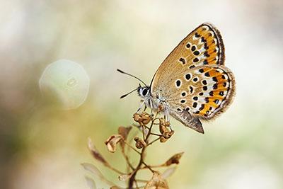 Hembra de Plebejus argus (female silver-studded blue)