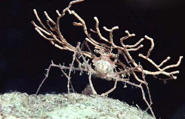 Decorator Crab (Dromidia antillensis) holding a broken piece of Sea Fan as camouflage, night, Red Sea