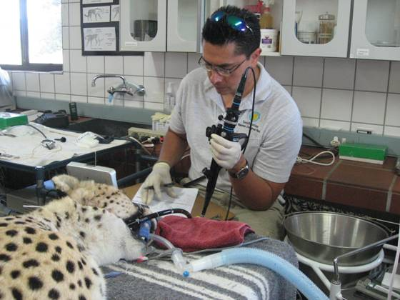 Performing endoscopy on a cheetah in Namibia.