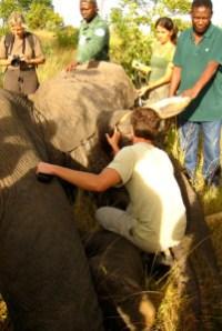 With anesthetized bull elephant.