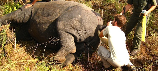 Rectal palpation of an anesthetized wild rhino.
