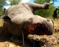 Kruger-National-Park-Veterinary-Rhino-Poaching-Necropsy