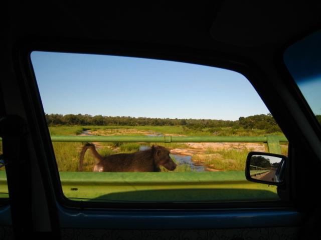 Baboon out my trusty rental car window.