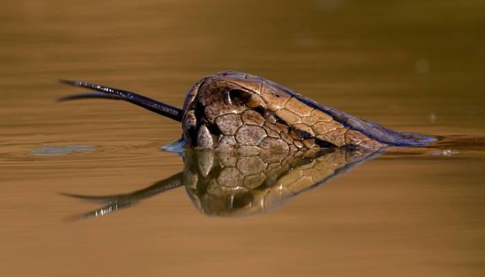 serpiente-lengua-bifida-asoma-agua