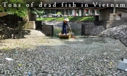 Dead Fish in Vietnam Lake