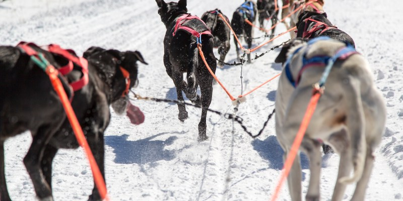 Eurohound Sled Dogs for Sale