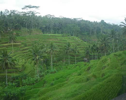 rizière-bali-indonésie