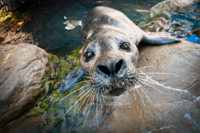 Harbor Seal whiskers