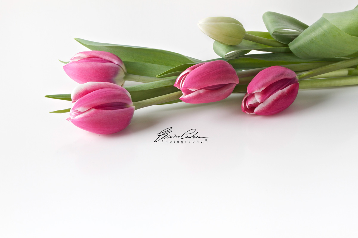 Tulips - Studio Photography