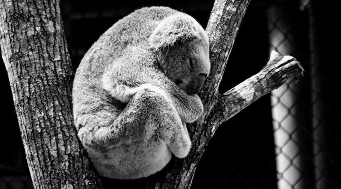 Koala. Animales geriátricos. Guía de control.