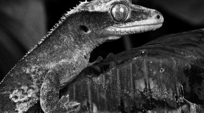 Localizar enfermedad y estrés en reptiles. Geco.