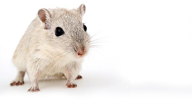 Enriquecimiento con Ratas Manejo y Cuidados
