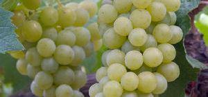 Las uvas, un alimento energético