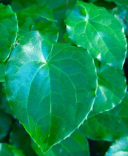E. xperralchicum'Wisley'DSC00129