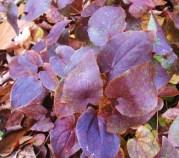 E. x versicolor CupreumDSC01679 web