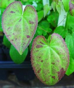 Epimedium sempervirens 'Aurora' new spring foliage