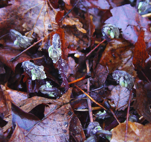 Newly emerging Epimedium growth kept in check by shredded leaf mulch.