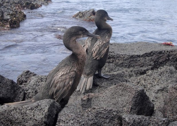 cormoran aptère galapagos