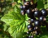 Ribes_nigrum_3-4208-250-200-90-c