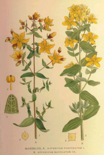 iperico scheda botanica