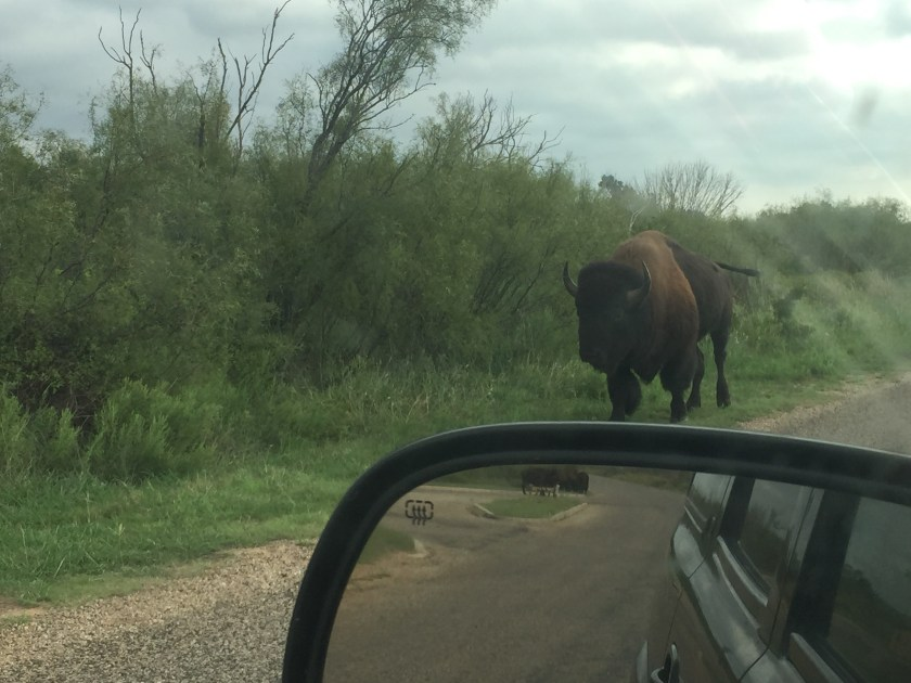 As our vacation progressed, our interactions became closer and closer with the resident bison herd. They were around every corner, literally.