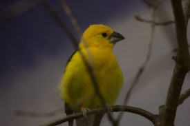 Golden-bellied Grosbeak