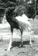 Ostrich Burying it's Heads
