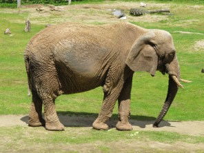 Paignton Zoo - elephant