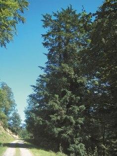 Tejo singular (Inventario Árboles Singulares Cantabria)