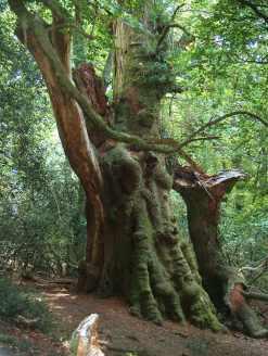 Árbol monumental en el Monte Aá