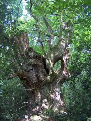 Árbol centenario en monte Aá
