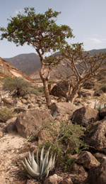 Frankincense Oil and Cancer - A Quality Standard Approach