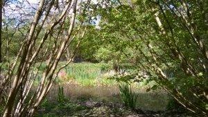 Bluebells at Hillhouse Wood West Bergholt (1)