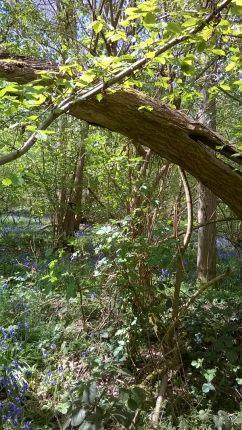 Bluebells at Hillhouse Wood West Bergholt (12)