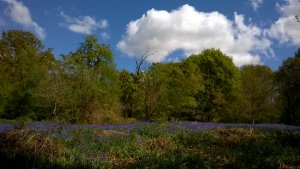 Bluebells at Hillhouse Wood West Bergholt (14)