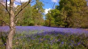 Bluebells at Hillhouse Wood West Bergholt (16)