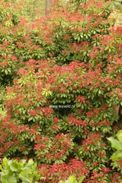 Small Of Mountain Fire Pieris