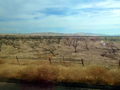 Dead almond orchard in San Joaquin Valley