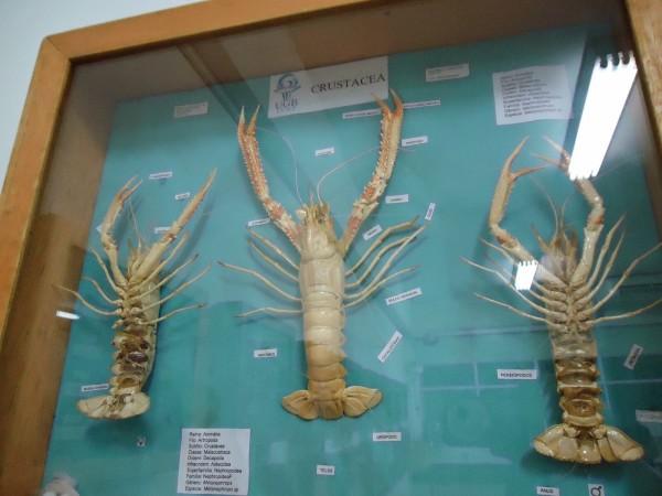 Nas aulas de zoologia de invertebrados, você vai estudar vários animais taxidermizados, como estes crustáceos. Foto: Coleção de Invertebrados da UEB.