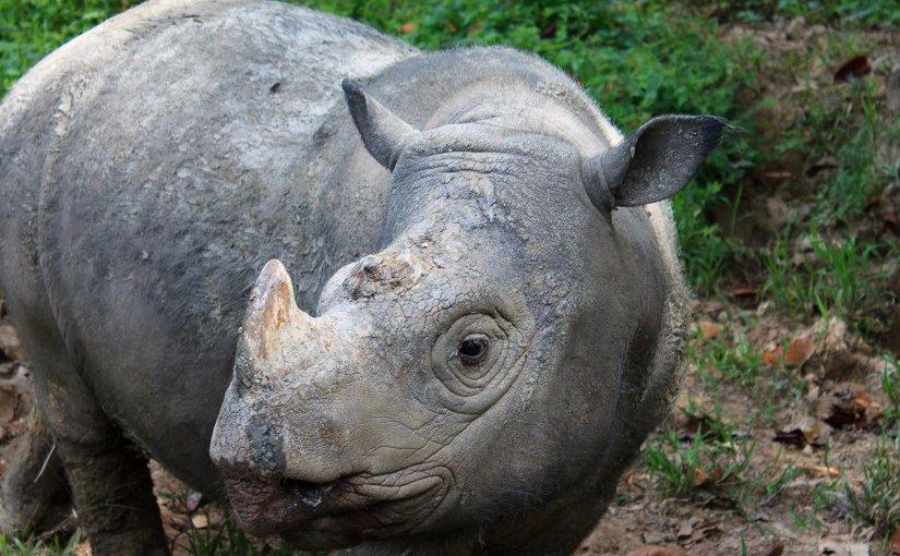 Sumatran Rhino Extinct In The Wild In Malaysia