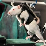 paralyzed rat walks