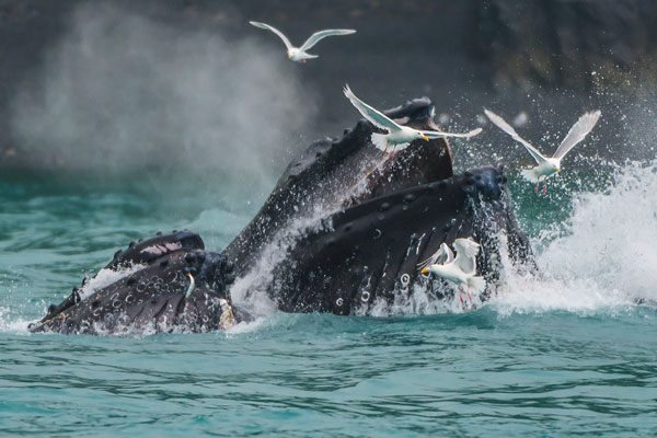 Humpback Whales Bubble Netting in Kenai Fjords, Alaska