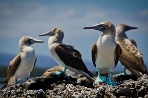 blue-footed-boobies-galapagos