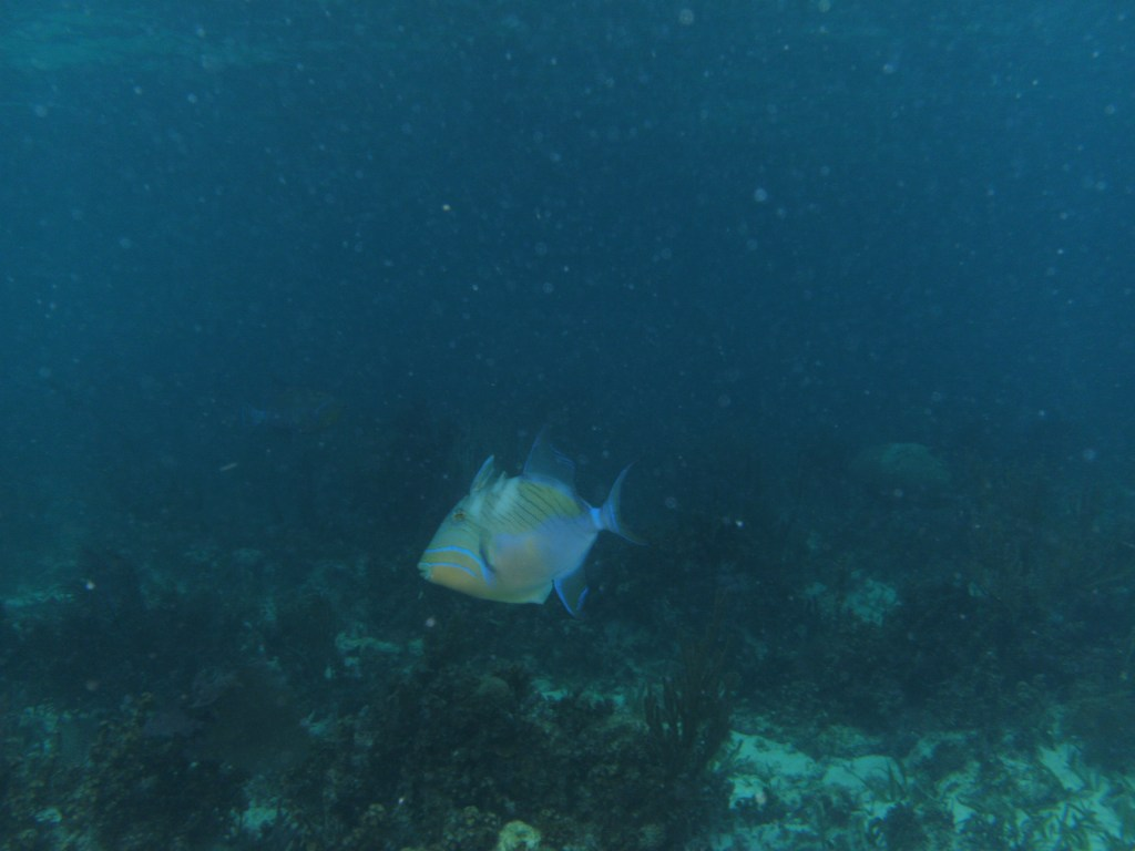 Queen Triggerfish Image Credit: Tim Nelson