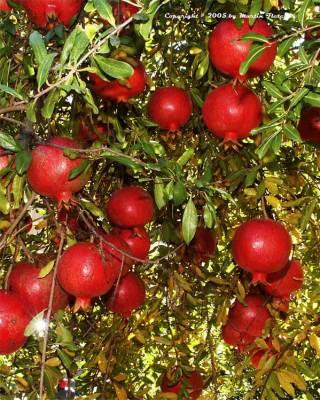 menikmati tanaman surga, buah delima