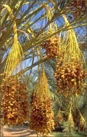 dates tree1 Menikmati Tanaman Surga dalam Al Quran