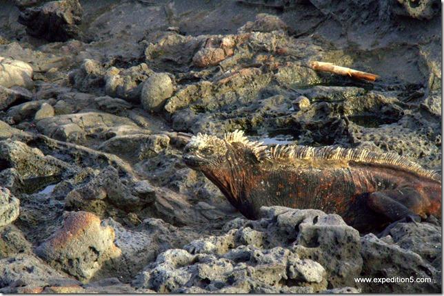 Un iguane de mer à l'allure peu commode - Galapagos, Equateur.